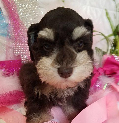 Liver Tan Schnauzer Puppy