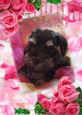 Miniature Schnauzer Puppy, Indiana Schnauzer Puppies